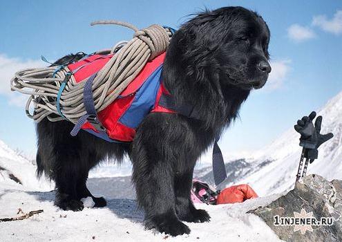 Спасательная собака детектирует потерянных